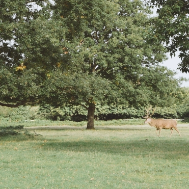 Deer at Richmond Park